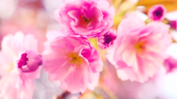 Sakura spring flowers. Spring blossom background