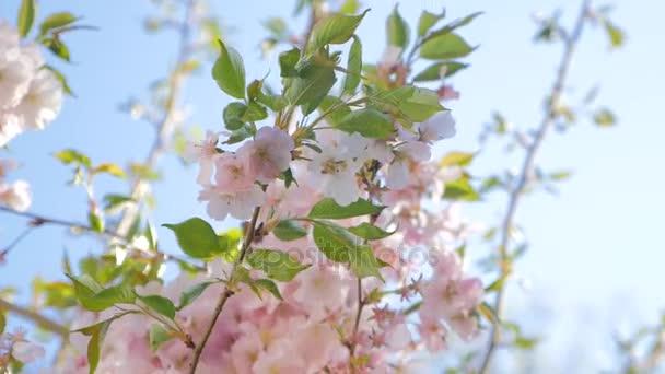 Szelíd szél, fa, rózsaszín virágzó virágok mozgó