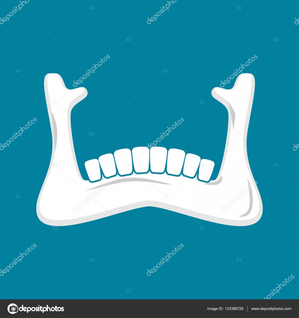 Mandible Human Isolated Lower Jaw Anatomy Of Bone Part Of Sku