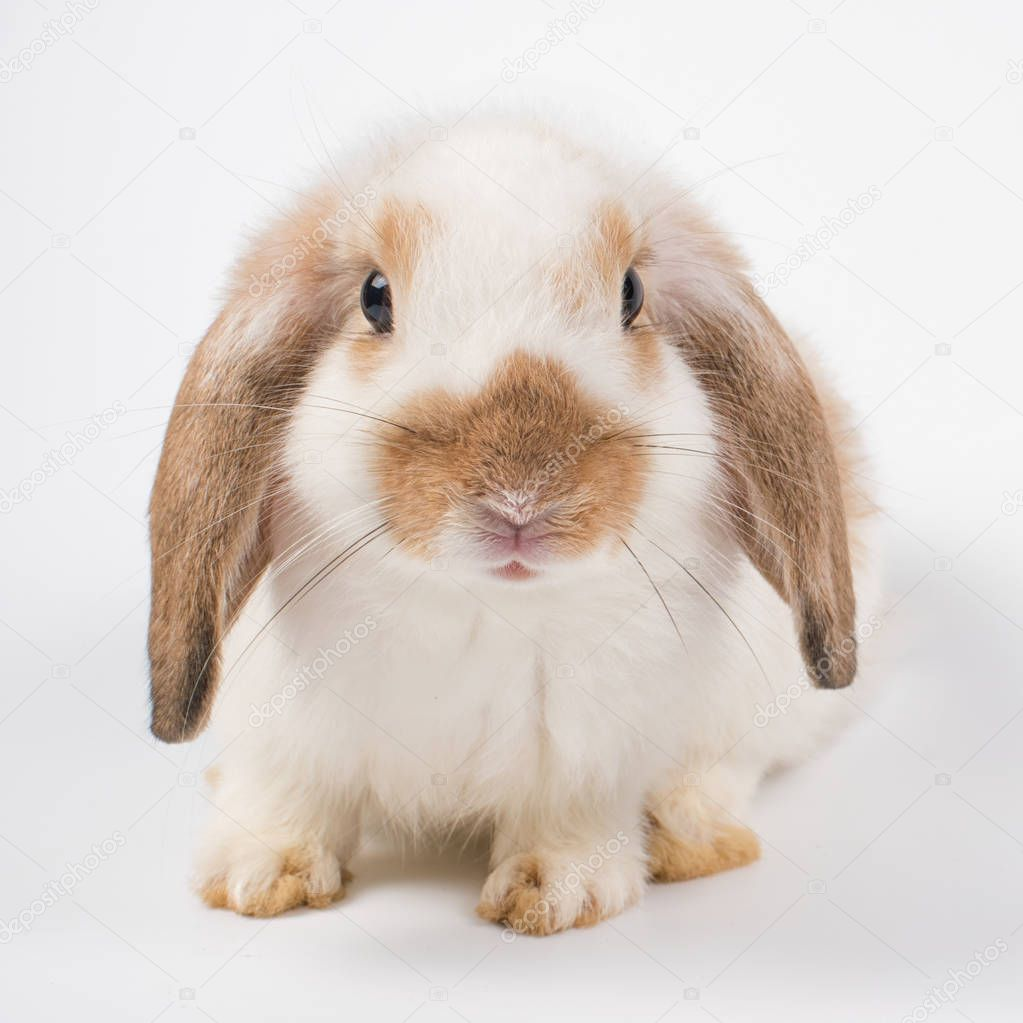 French Lop rabbit brown ear black eye isolated on white backgrou
