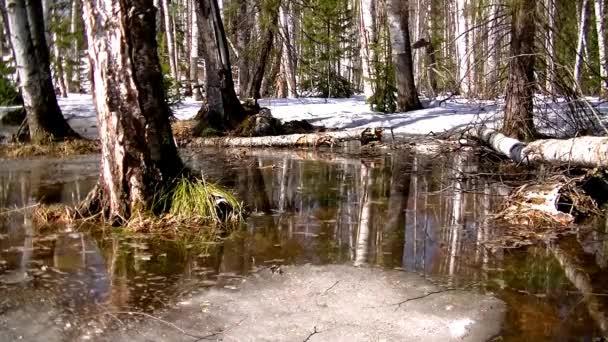 Nyírfák és fenyők a vízben. a hó elolvad az erdőben.