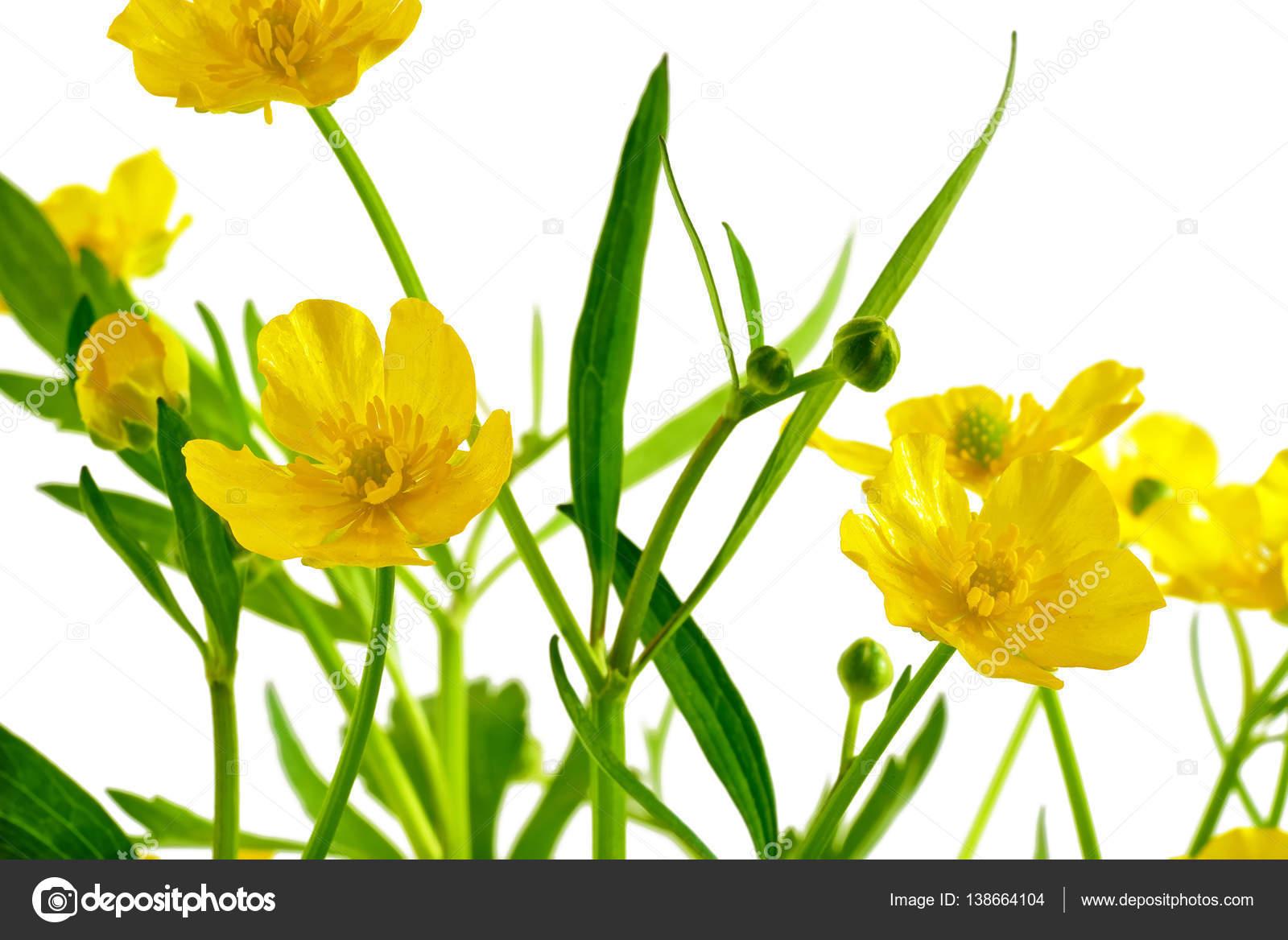 Brilliant Blumen Mai Galerie Von Blume Zu Isolieren. Gelbe Blume Auf Einem