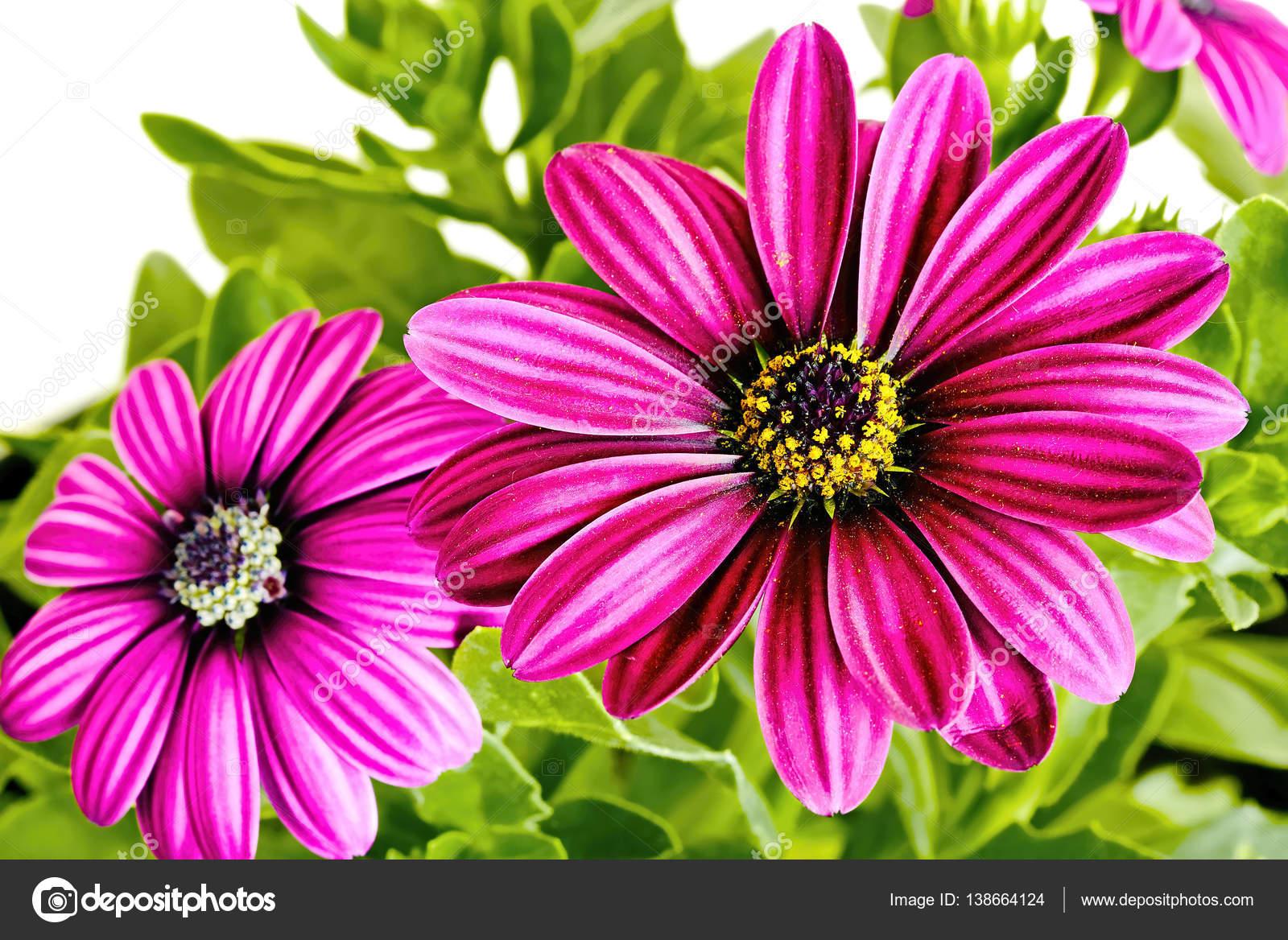 Faszinierend Blumen Mai Referenz Von Blume Zu Isolieren. Rosa Blume Auf Einem