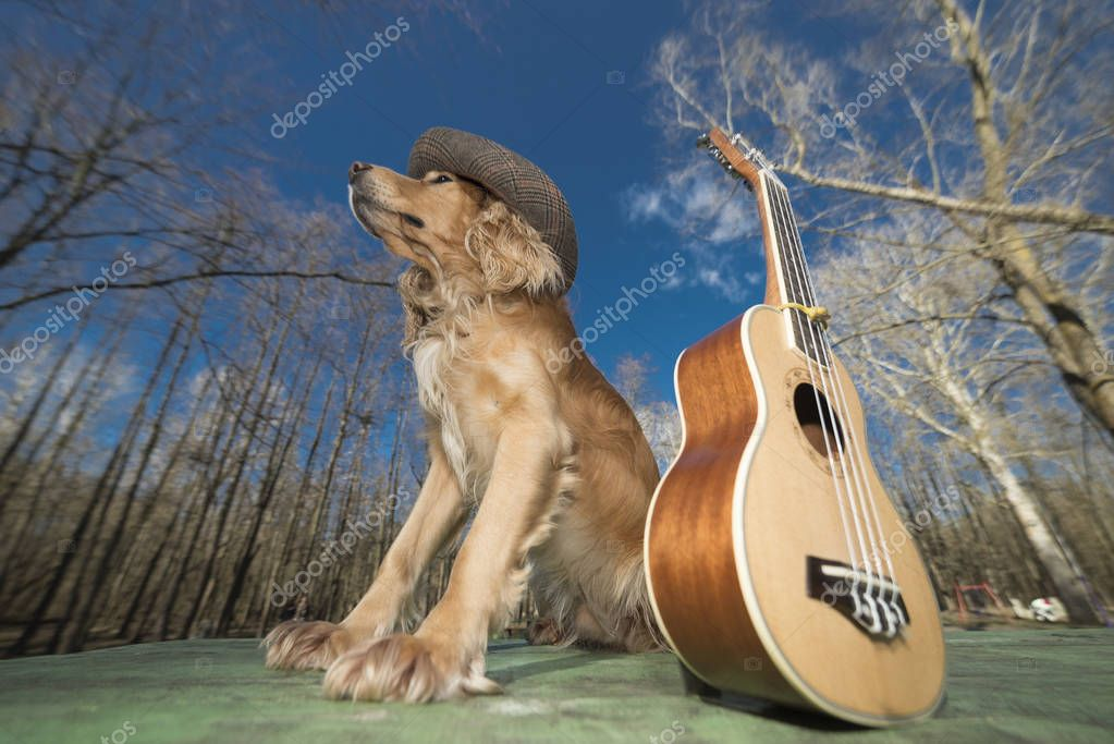 Dog spaniel of golden color with a ukulele