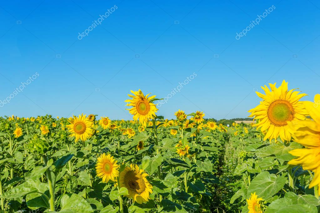 Yellow field of sunflowers at sunny day