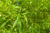 Bamboo green trees close-up