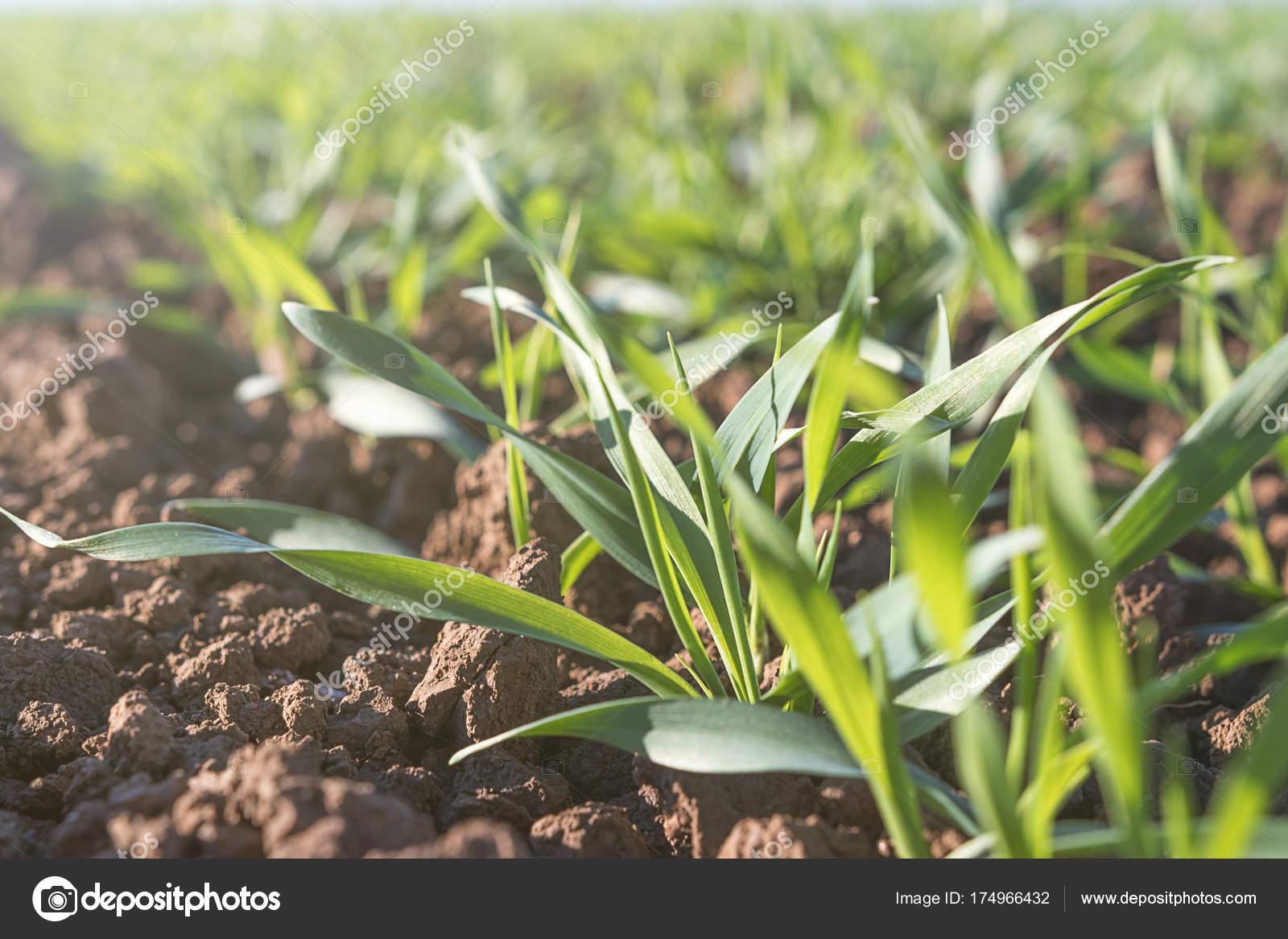 jeunes verts bl croissant dans le sol semis de bl croissant dans un champ photographie. Black Bedroom Furniture Sets. Home Design Ideas
