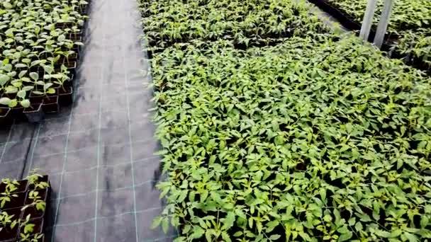 Sazenice školky, mladé rostliny rostoucí ve skleníku
