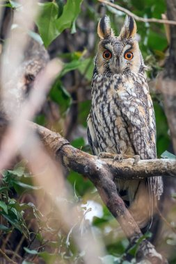 Long eared owl sitting on a tree (Asio otus)