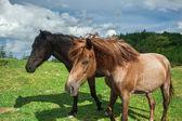 krásné koně na zeleném poli