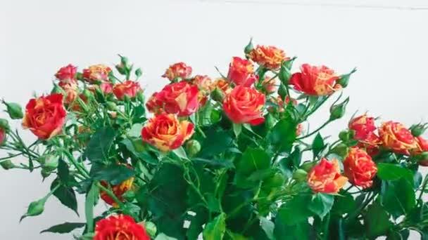 Kytice růží malé žluté a červené růže. dívka, trhání květin v kytici.