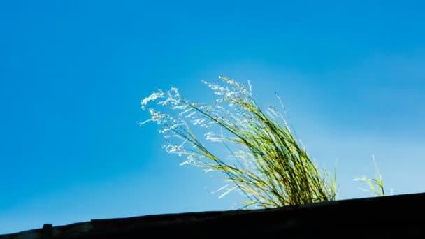Bush divoké trávy květiny na slunci s jasně modré obloze na pozadí