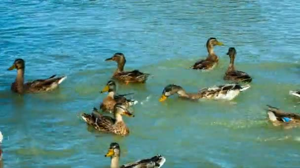 Flock of Mallard Ducks and Drakes Swimming in the Lake. they eat bread.