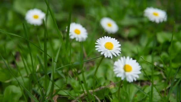 Letní přírodní pozadí s kopretin v zelené trávě