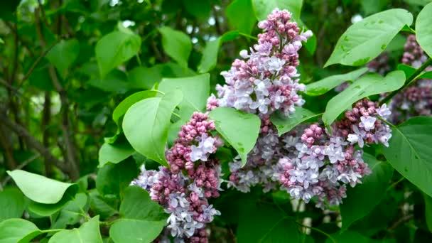 Přírodní pramen pozadí s fialovými květy