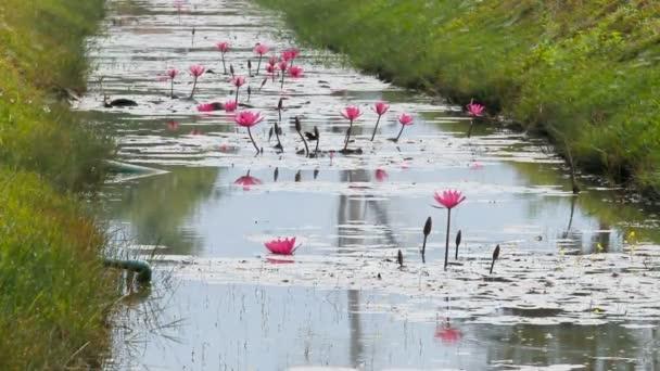 Vážky létají přes rybník s růžovými květy Lotus. Přírodní pozadí. Kambodža