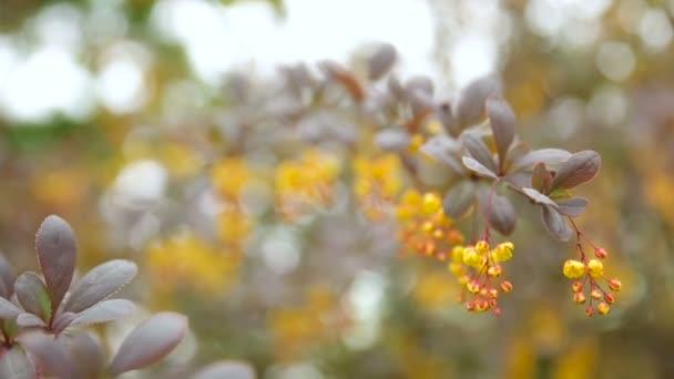Blooming Berberis Ottawensis Deciduous And Evergreen Shrub Bright