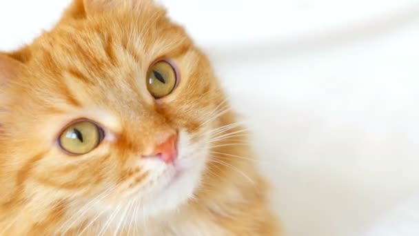 Ginger cat close portrait. Cat looks interested in the camera. Close attentive look