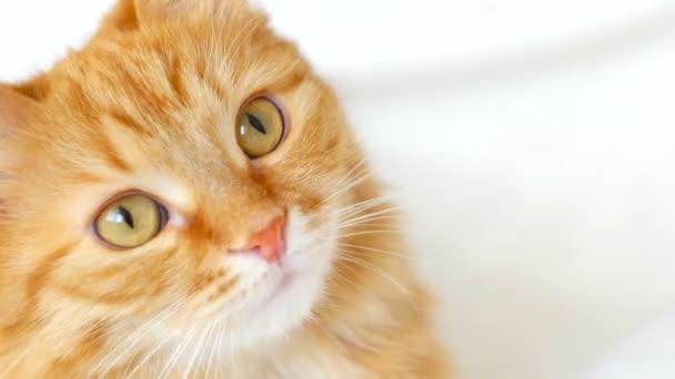 Ingwerkatze nah Porträt. Katze schaut interessiert in die Kamera. Aufmerksame Blicke