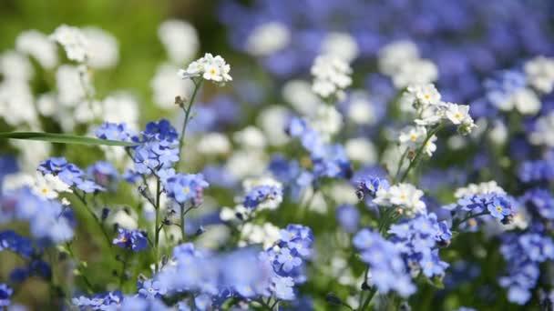 Pomněnka květiny. Letní přírodní pozadí