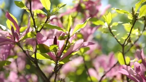 Magnolie susan Magnoliaceae, M.stellata, M.liliflora. Přírodní pramen pozadí rozkvetlé květy.