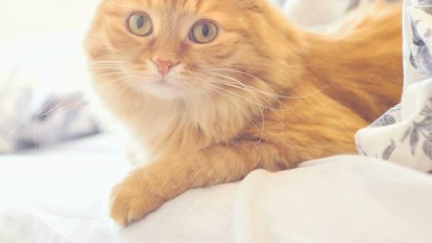 Roztomilá kočičí ležící v posteli pod přikrývkou. Nadýchané pet pohodlně usadil do režimu spánku. Útulný domov pozadí s funny pet.