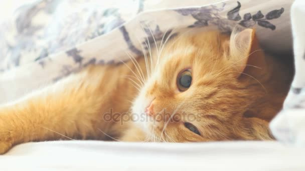 Cute ginger cat lying in bed under a blanket. Fluffy pet playing with something under a blanket. Cozy home background with funny pet.