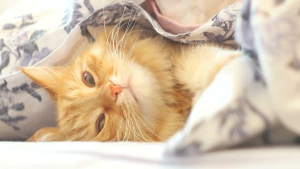 Aranyos gyömbér macska feküdt az ágyban, egy takaró alatt. Bolyhos kisállat kényelmesen elhelyezkedve aludni. Hangulatos otthoni háttér vicces kisállat.