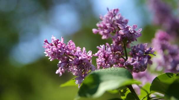Lila bush. Přírodní pramen pozadí rozkvetlé květy