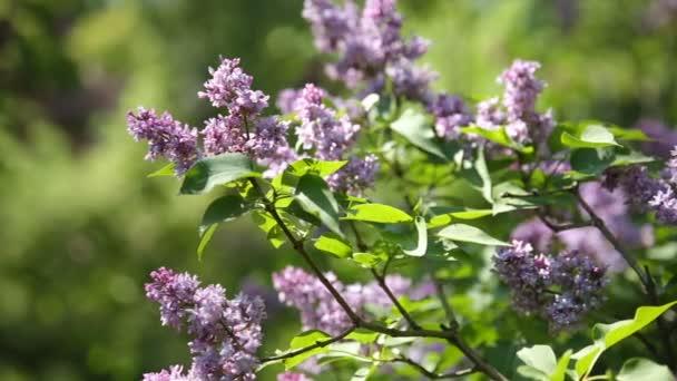 Lila bush. Přírodní pramen pozadí rozkvetlé květy.