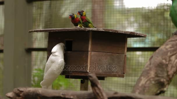 Duha mnohobarvý Trichoglossus moluccanus a The losos-chocholatý Kakadu Cacatua moluccensis, barevné druhy papoušků. Malajsie