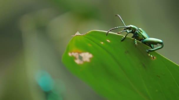 Frog-legged leaf beetle on green leaf. Malaysia.