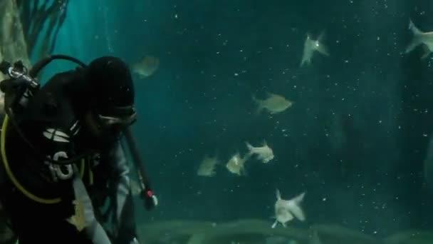 Kuala Lumpur, Malajsie-10. února 2013. Potápěč krmí Arapaima a jiných ryb v akváriu. Aquaria Klcc