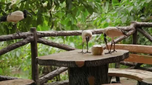 Ibis posvátný Threskiornis aethiopicus. Pár z nich pít mléko cocanut. Malajsie