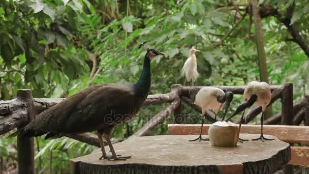 Ibis posvátný Threskiornis aethiopicus. Pár z nich pít boj s Páv více než cocanut. Malajsie