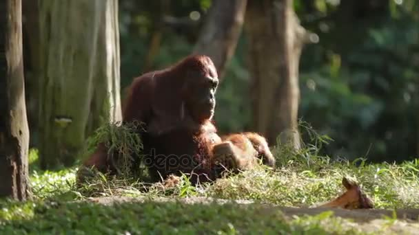Der ausgewachsene Orang-Utan Rongo sitzt unter einem Strauß Gras und Ästen. Großer Affe spielt nach Regen mit nassem Gras.