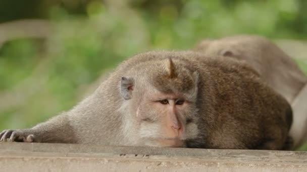Majom alszik. Közelről fotó majmok arcát. Monkey forest Ubud, Bali, Indonézia.
