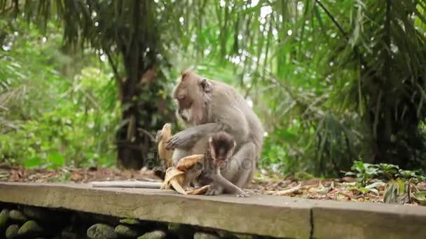 Majmok enni banánt. Monkey forest Ubud, Bali, Indonézia.