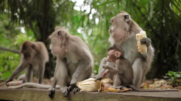Opice jíst banány. Monkey forest Ubud Bali Indonésie.