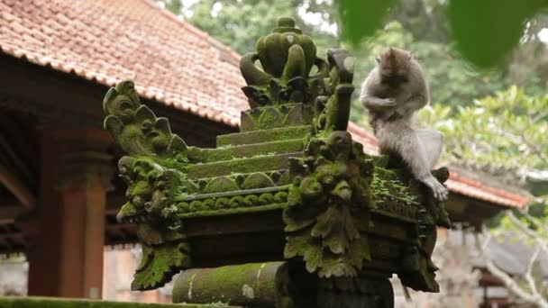 Monkey sitting on statue and searching for insects in its fur. Mossy sculptures in Monkey forest. Ubud, Bali, Indonesia.