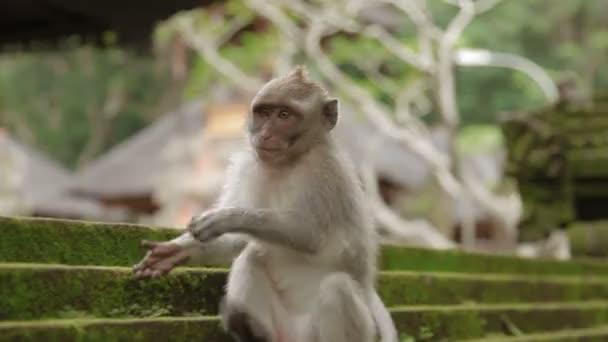 Opice sedí na soše a hledání hmyz v její srsti. Mechový sochy v Monkey forest. Ubud, Bali, Indonésie.