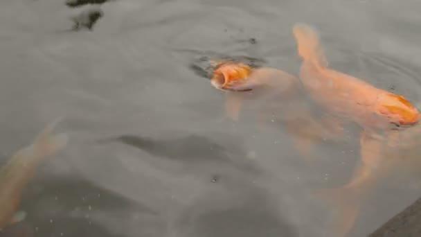 Koi nebo nishikigoi, okrasné odrůdy ochočit Kapr obecný Cyprinus carpio. Barevné ryby plovoucí ve vodě
