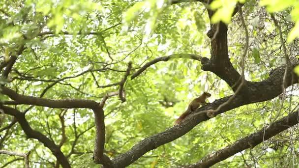 Puha gyömbéres mókus ül a fán, és eszik diót. Lumpini park. Bangkok, Thaiföld.