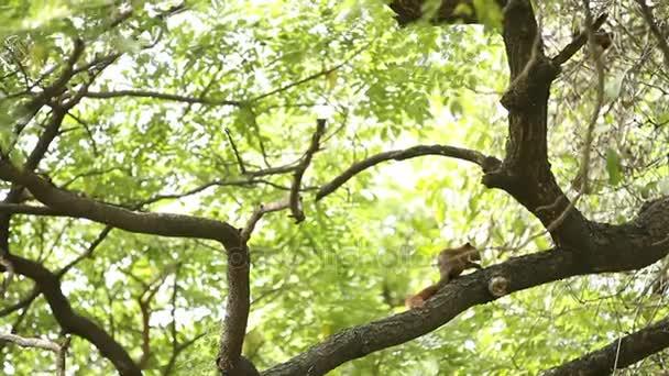 Nadýchané zázvor veverka sedí na stromě a jí ořechy. Lumpini parku. Bangkok, Thajsko.