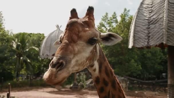 Žirafa Giraffa souhvězdí žirafy. Zavřete záznam. Dusit Zoo, Bangkok, Thajsko