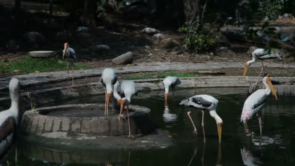 Flock of painted stork. Big birds with yellow beak. Malaysia.