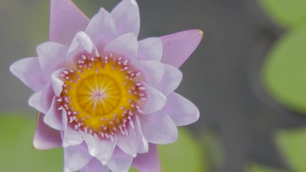 Ägyptische Lotusblume, Nymphaea Caerulea. Natürlichen Hintergrund ...