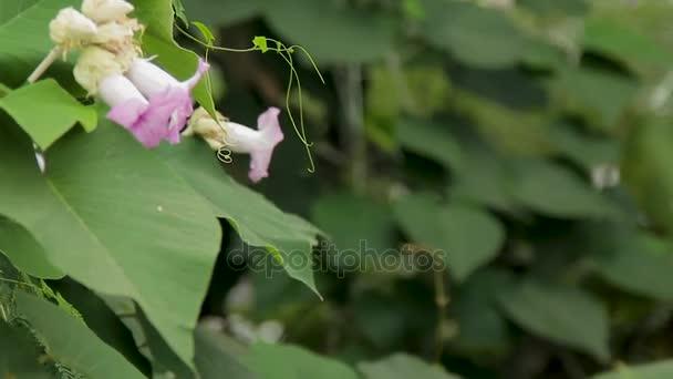 Včela sbírá pyl z růžový květ.
