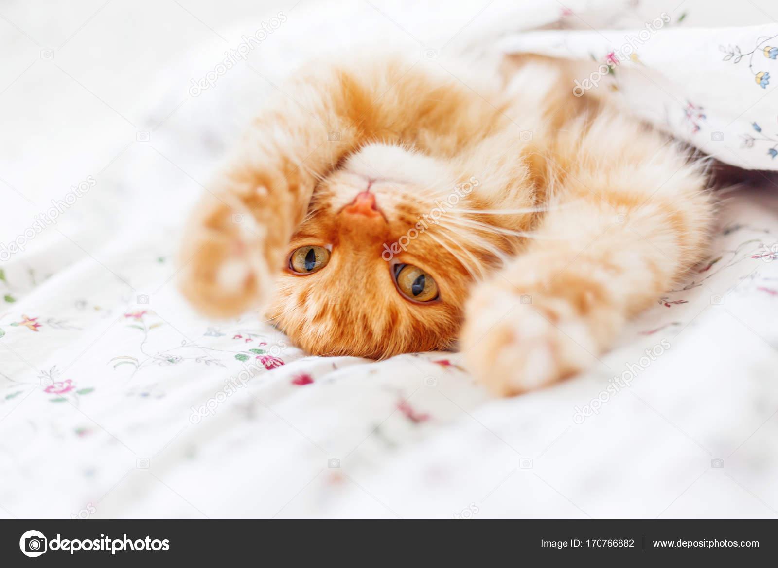 Lindo Gato Jengibre Acostado En La Cama Bajo Una Manta