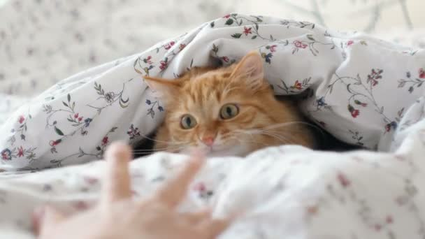 Cute ginger cat lying in bed. Fluffy pet hiding under blanket, looking curiously on moving hand. Cozy home background with funny pet.